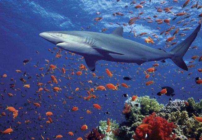 Синя (блакитна) акула (Prionace glauca).