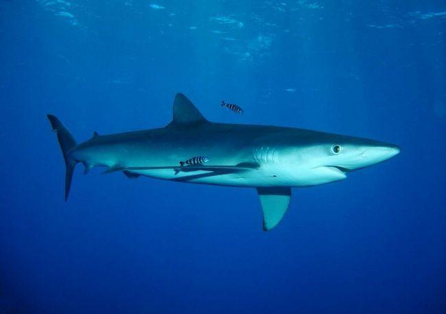 Блакитна акула - масивна риба.