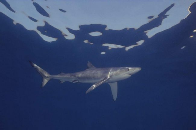 Синя акула харчується рибою і ссавцями.