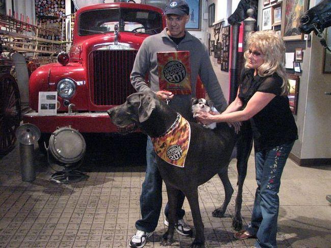 Блакитний дог на прізвисько Джордж (George) - найбільша собака в світі