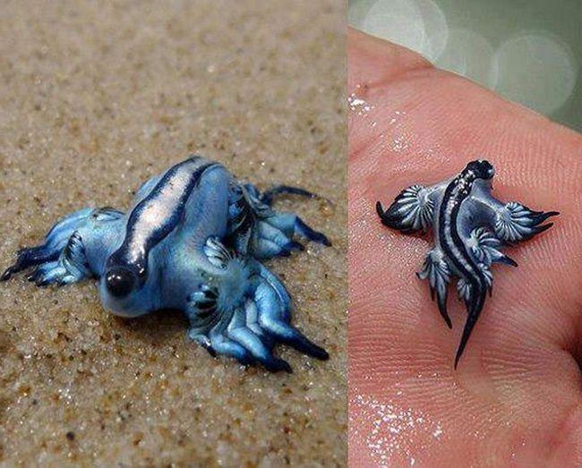 Характерною особливістю блакитного дракона є те, що кожна особина має чоловічими і жіночими статевими залозами і після спарювання відкладає яйця.