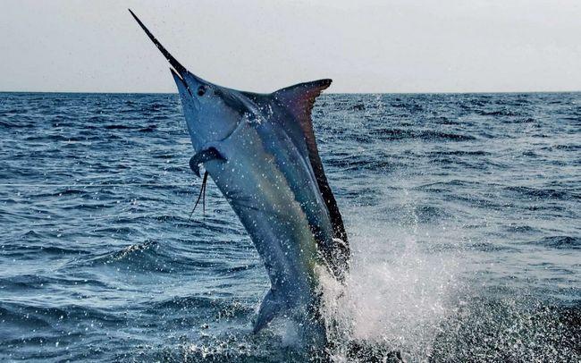 Блакитні марліни, як і дельфіни, і кити люблять вистрибувати з води