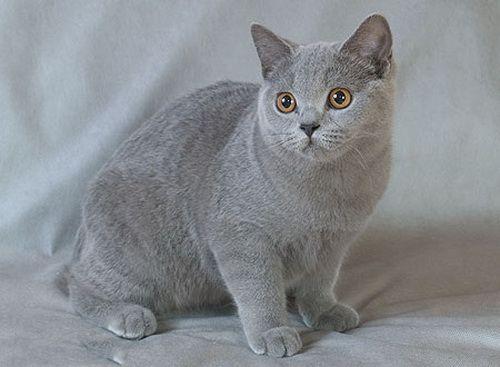 блакитні британські кішки блакитна британська кішка