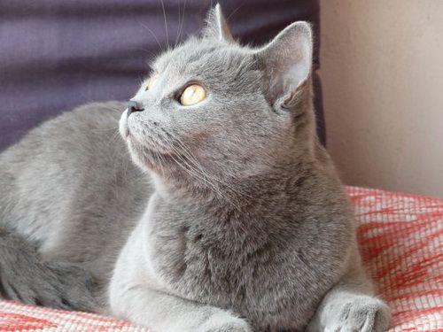 блакитна британська кішка