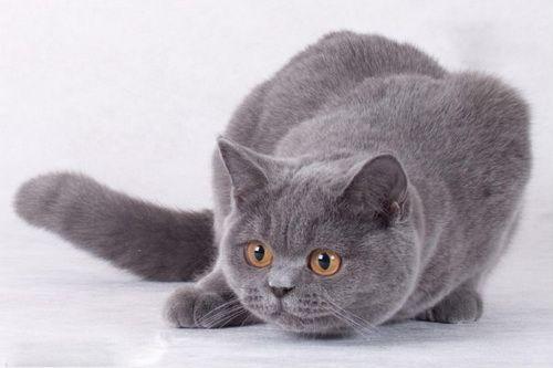 кошеня британець блакитний