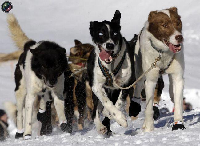 Гонка на собачих упряжках La Grande Odyssee