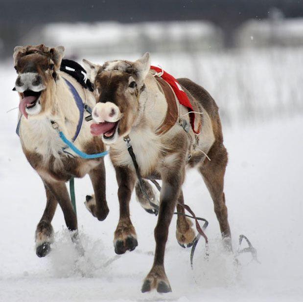 Гонки на північних оленях в Лапландії