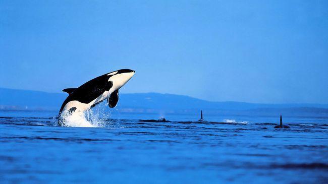 Косатка не дарма заслужила репутацію кита вбивці. Протистояти їй в океані можуть хіба що горбаті кити.