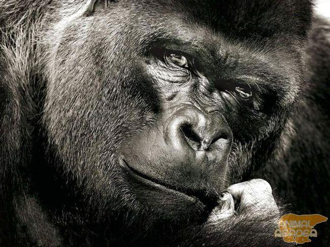 Горили (Gorilla) - найбільші примати, які живуть сьогодні