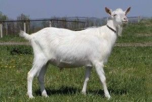 Горьковская порода кіз