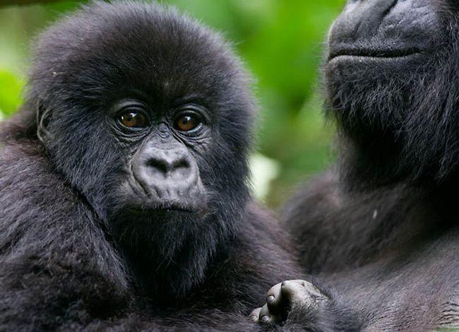 гірські горили