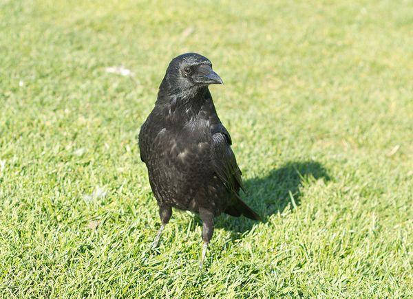 Пристосовуючись до міського оточення, чорні ворони навчилися розрізняти людей і інших птахів по голосах.