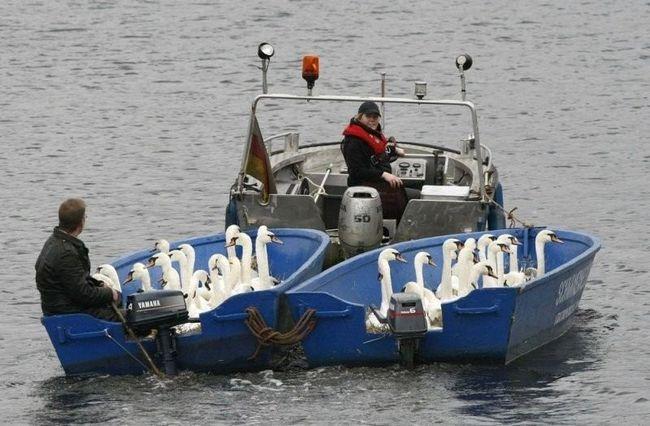 Міська рада гамбурга відправив лебедів на зимівлю