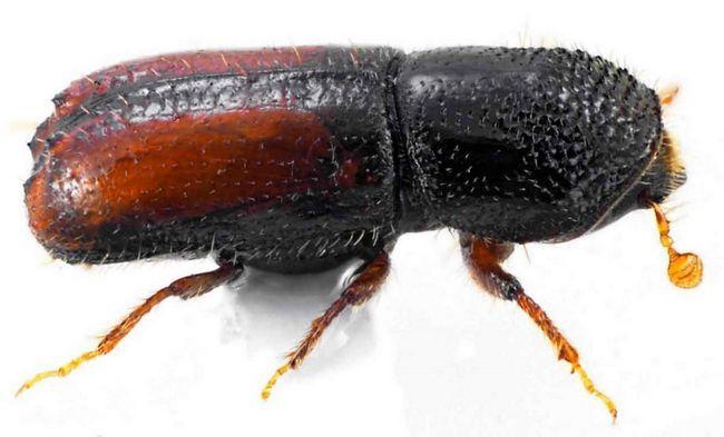 Гравер звичайний (Pityogenes chalcographus).