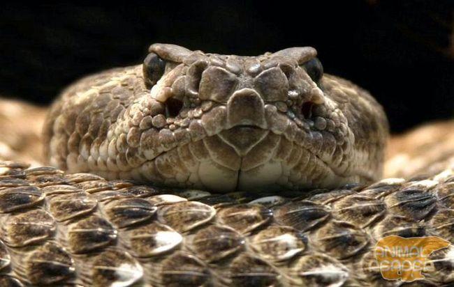 Одна з найбільш отруйних змій має боязкий характер