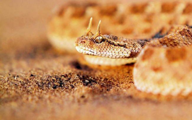 Гримуча змія - пустельна мешканка.