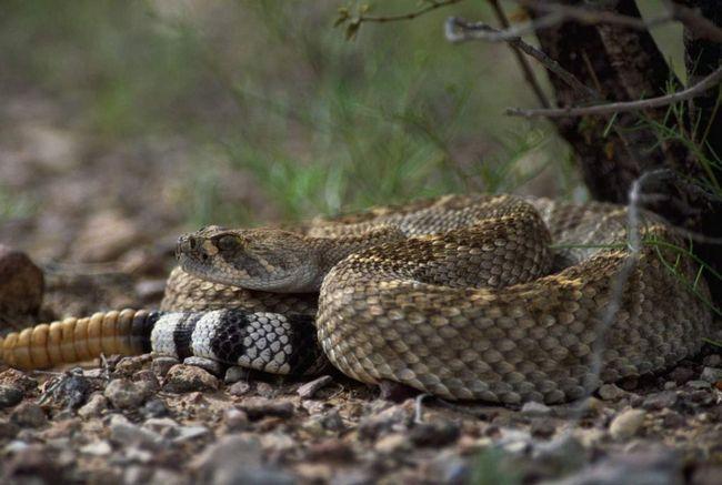 Жалить гримуча змія не з першого разу.