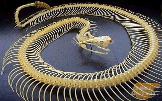 Скелет гримучої змії
