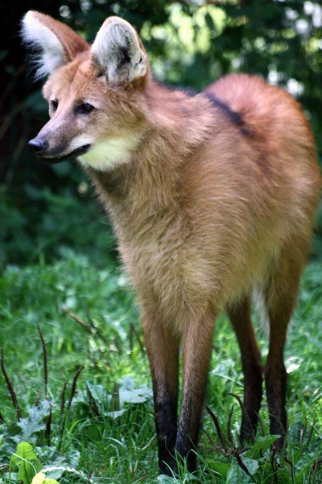 Гривистий вовк (лат. Chrysocyon brachyurus)