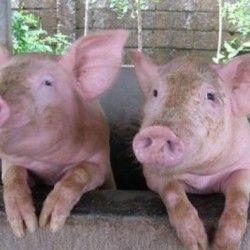 Групуємо свиней з розумом