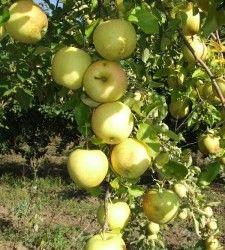 Груша-яблуко - пінг-ли