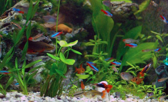 гуппі в загальному акваріумі.