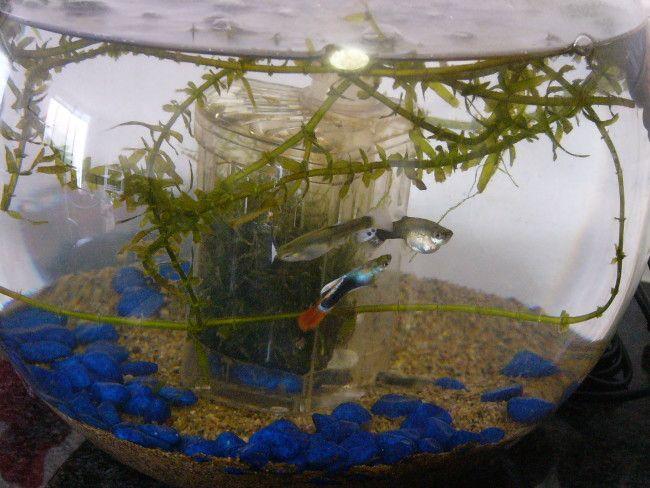 Гуппі в круглому акваріумі.