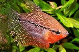 Гурамі - акваріумні рибки