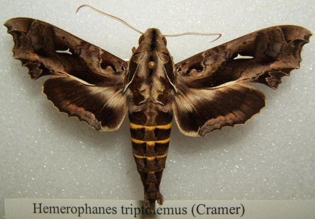 Гусениця-змія (лат. Hemeroplanes caterpillar)