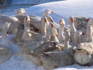 Італійська порода гусей