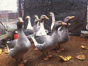 Породи гусей Великі сірі фото