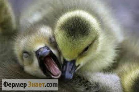 молодняк гусей
