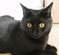 бомбейська кішка характер