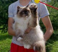 невська маскарадна кішка і діти
