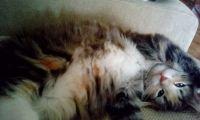 норвезький кіт характер