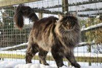 характер норвезької лісової кішки