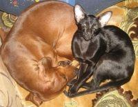 орієнтальна кішка і собака