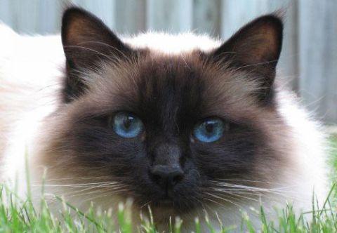 Характер священної бірманської кішки, особливості породи і поведінки