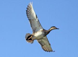Характеристика і особливості сірих качок
