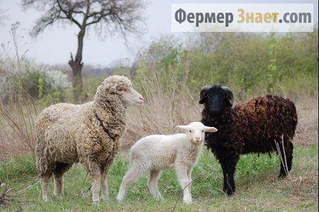 Характеристика порід овець м`ясного напряму