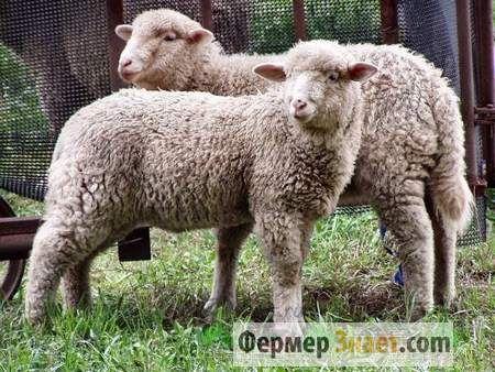 Як правильно формувати овечу шкуру