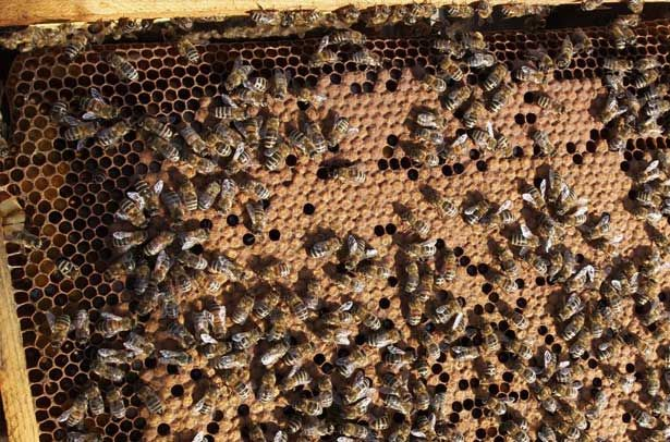 Бджоли карпатської породи на сотах