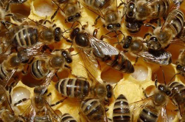 Карпатська порода бджіл