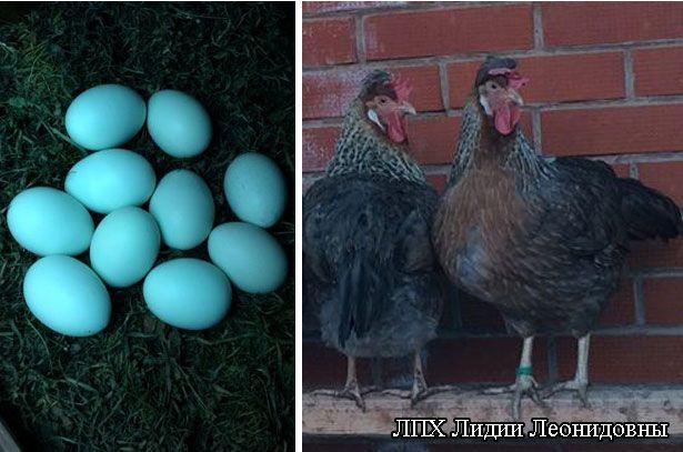 Яйця від курей породи Легбар
