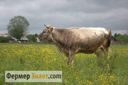 Характерні особливості розведення костромський породи корів