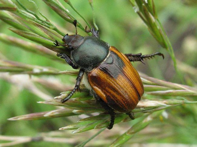 Хлібний жук зветься також хлібним кузькою.