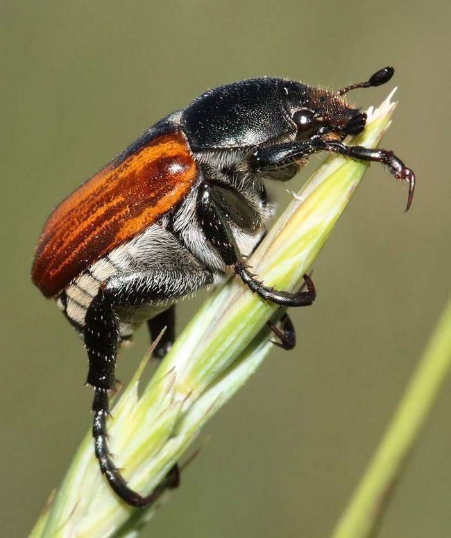 За день жук з`їдає 6 зерен пшениці.