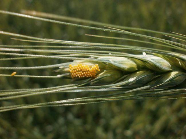 Яйця хлібного жука: саме так і починається знищення врожаю.