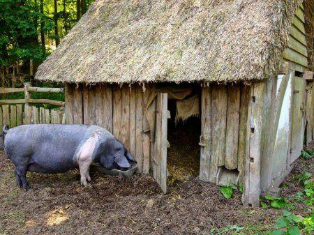 Хлів для свиней