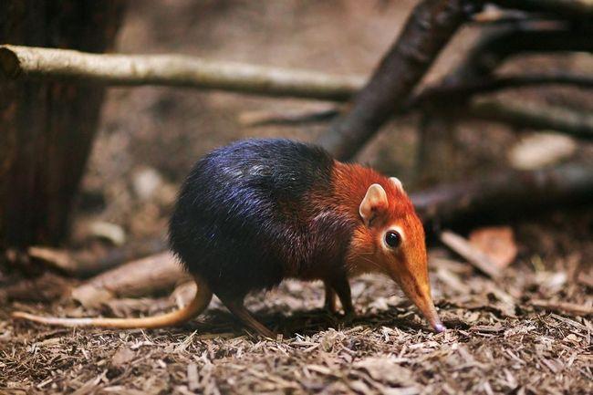 Хоботкового собачка петерса, або рижеплечая хоботкового собачка (лат. Rhynchocyon petersi)